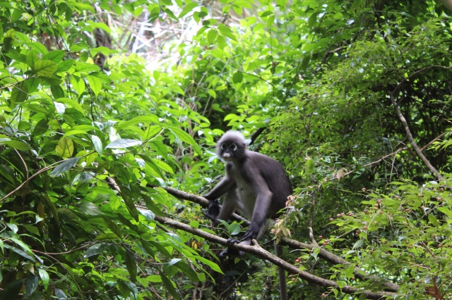 Dusky Langur Having Lunch
