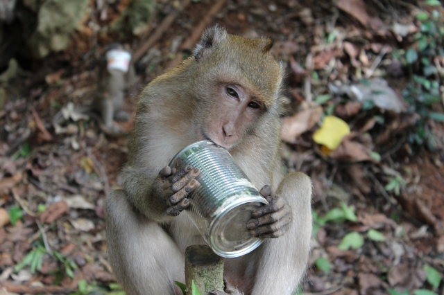 Macaque with Stolen Property