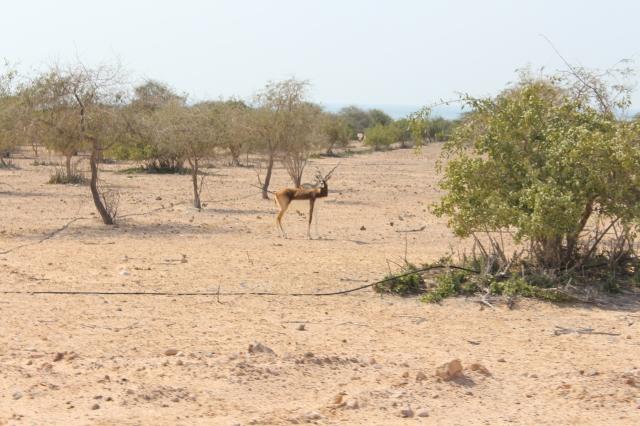 Indian Black Gazelle