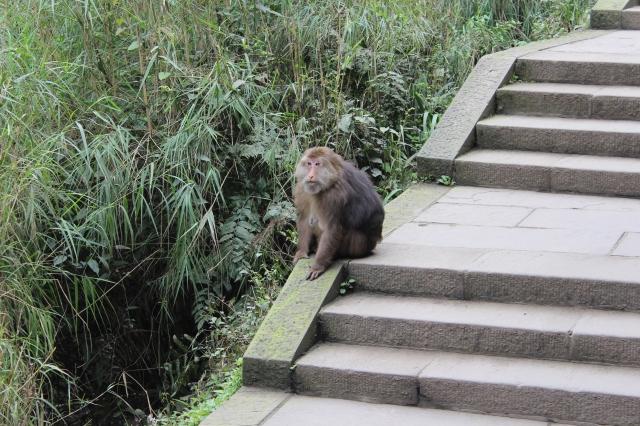 Tibetan Macaque planning the raid