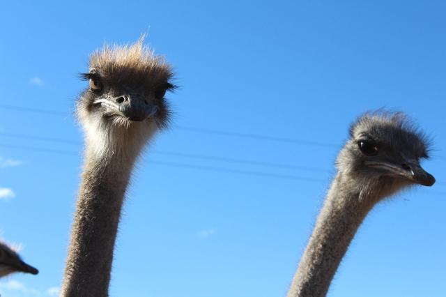 Curious ostrich