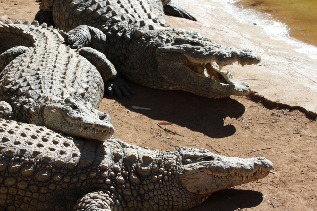 Nile crocodiles at Cango Wildlife Ranch