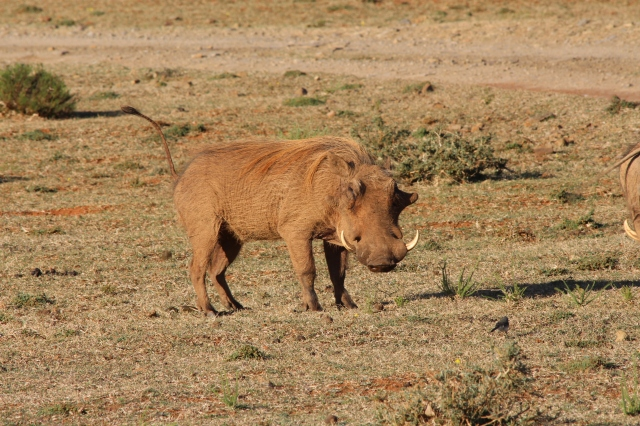 Handsome fellow from which Pumba takes its name