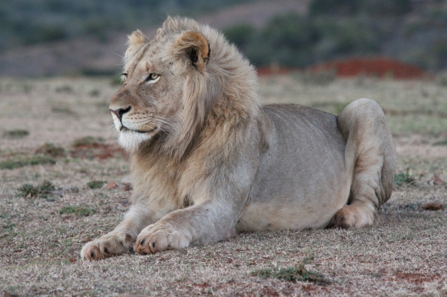 Adolescent male lion