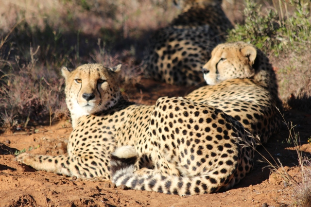 3 cheetah brothers