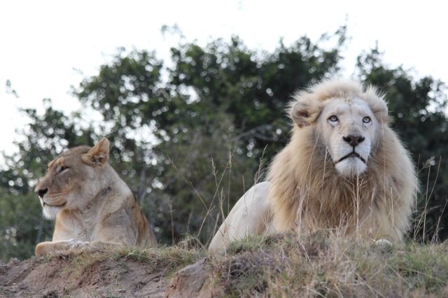 Dominant male white lion and a tawny lioness