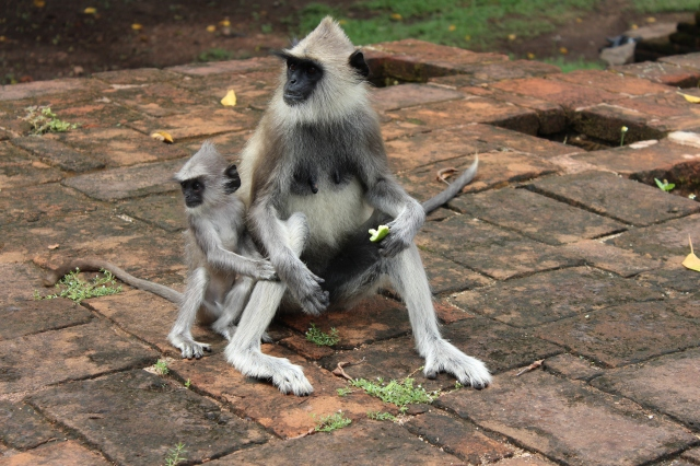 Grey Langur Monkeys