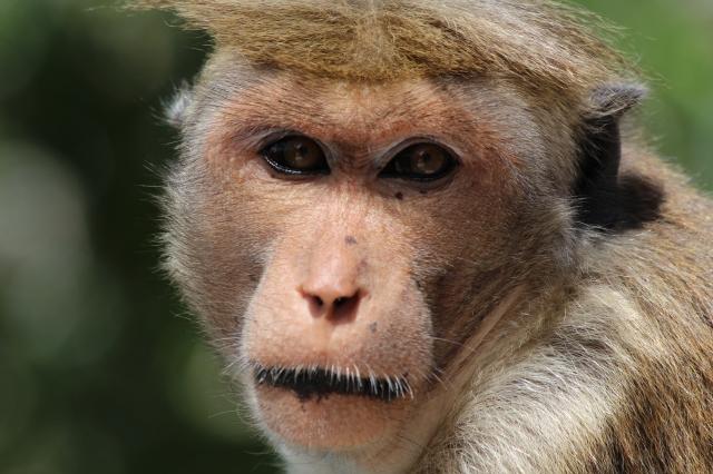 Touque Macaque