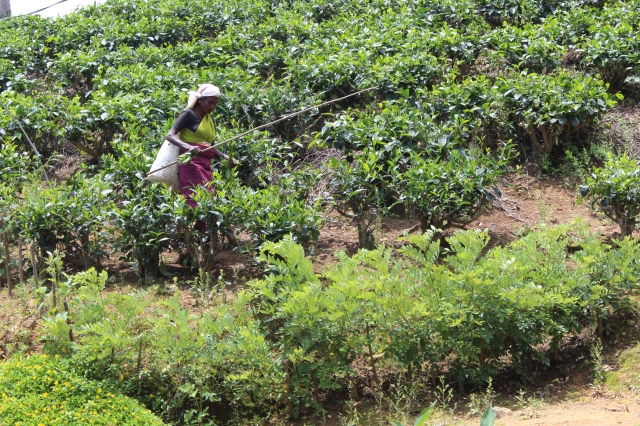 Tea picker hard at work