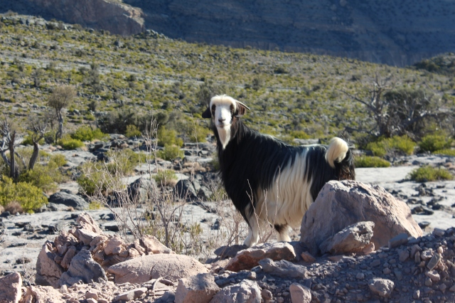 Jebel Shams goat