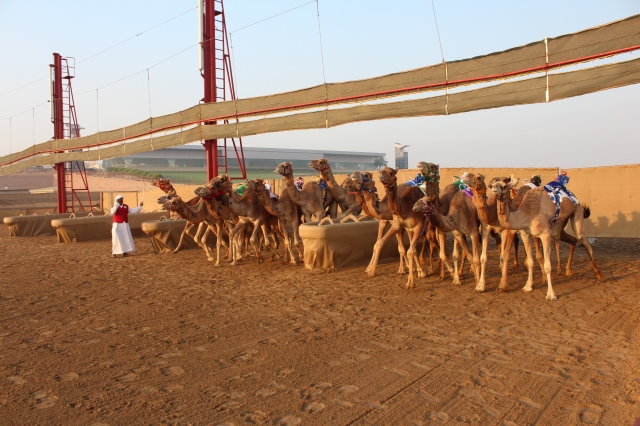 The camel starting gate