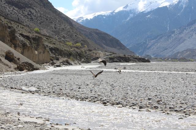Himalayan vultures...I wish I had my zoom lens