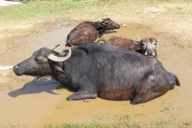 Buffalo relaxing by the lake