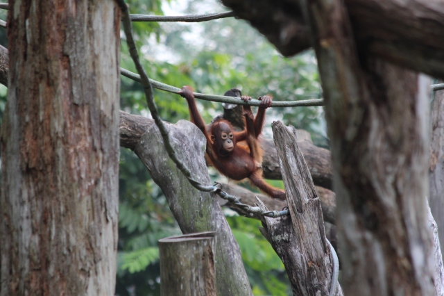 Orangutan youngster hangin' out