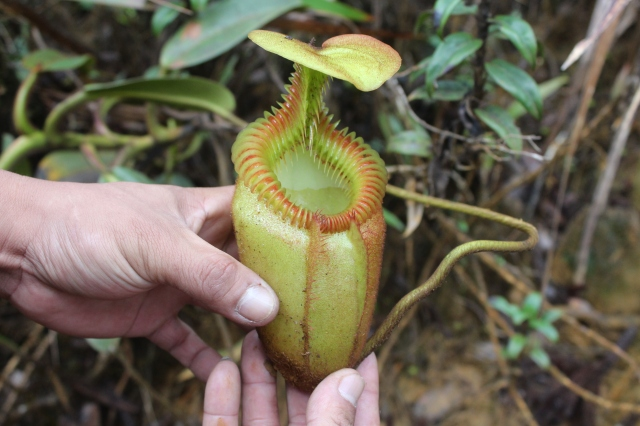 Nepenthes villosa...I think
