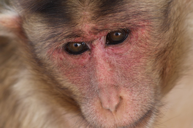 Resident macaque
