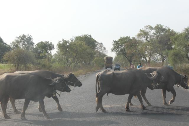 Buffalo crossing highway on way to Ajanta Caves