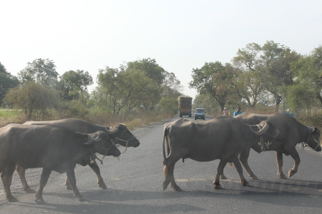 Buffalo crossing highway on way to Ajanta Caves