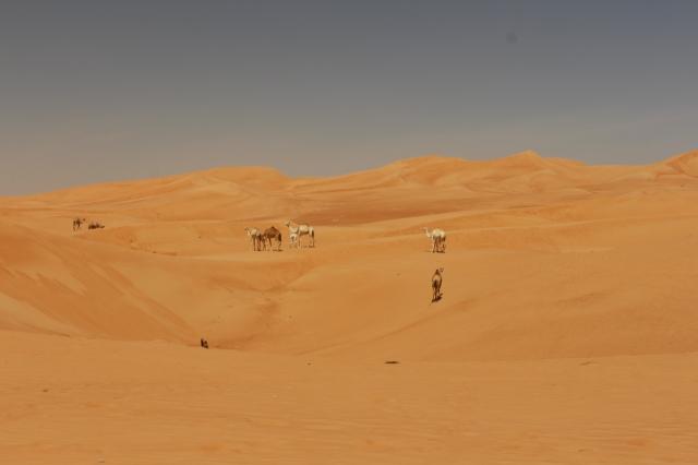 Camel spotting on the desert drive